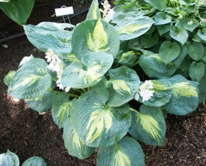 Hosta Dream Weaver is a giant hosta