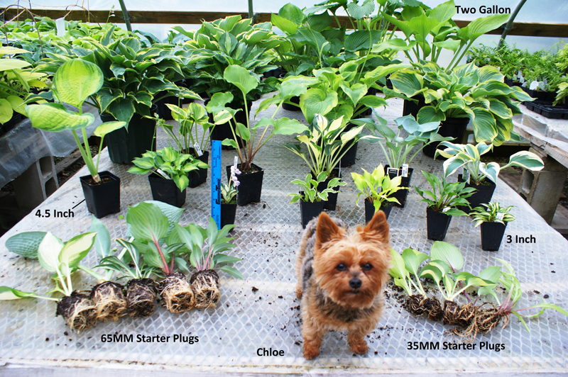 PJ's Yorkshire Terrier, Chloe, showcases the sizes we sell.