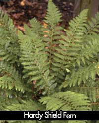 Hardy Shield Fern