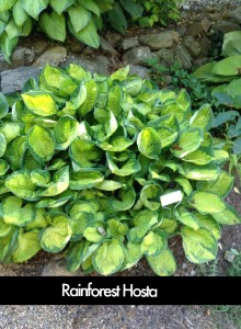 Rainforest Sunrise Hosta
