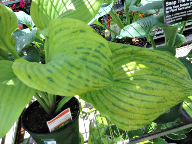Benefits Of Buying From A Reputable Hosta Nursery Nh Hostas