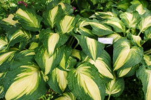 Hosta 'Lakeside Love Affaire'