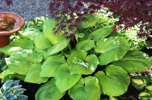 Sum and Substance Hosta is a giant hosta.