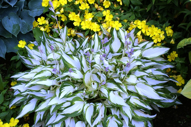 Growing White Centered Hostas Nh Hostas