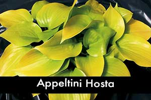 Appletini Hosta, small hosta
