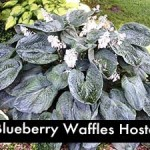 Blueberry Waffles Hosta, a Giant Hosta