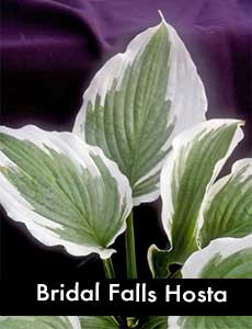 Bridal Falls Hosta, a Giant Hosta
