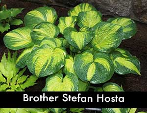 Brother Stefan Hosta, a Giant Hosta