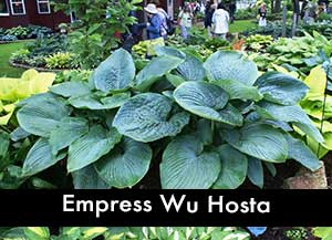 Empress Wu Hosta, a Giant hosta