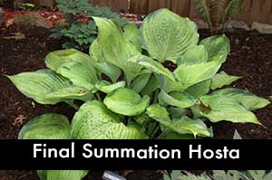 Final Summation Hosta, a Giant Hosta