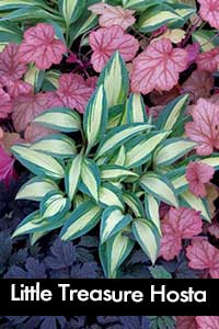 Little Treasure Hosta, a small hosta