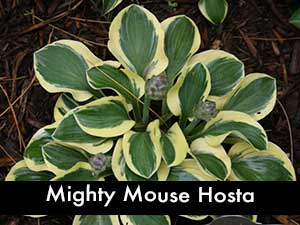Mighty Mouse Hosta, a miniature hosta
