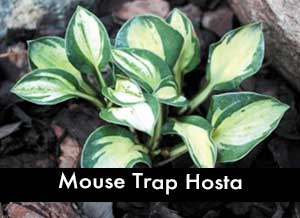Mouse Trap Hosta, a miniature hosta