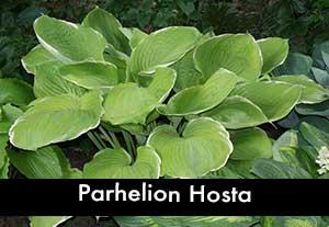 Parhelion Hosta, a Giant Hosta