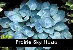 Prairie Sky Hosta, a Blue Hosa