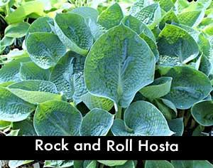 Rock and Roll Hosta, a Blue Hosta