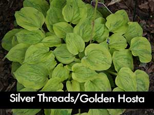 Silver Threads & Golden Needles Hosta, a small hosta