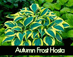 Autumn Frost Hosta