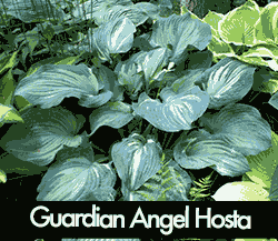 Guardian Angel Hosta