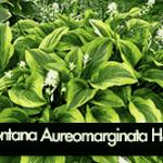 Montana Aureomarginata Hosta