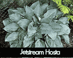 Jetstream Hosta