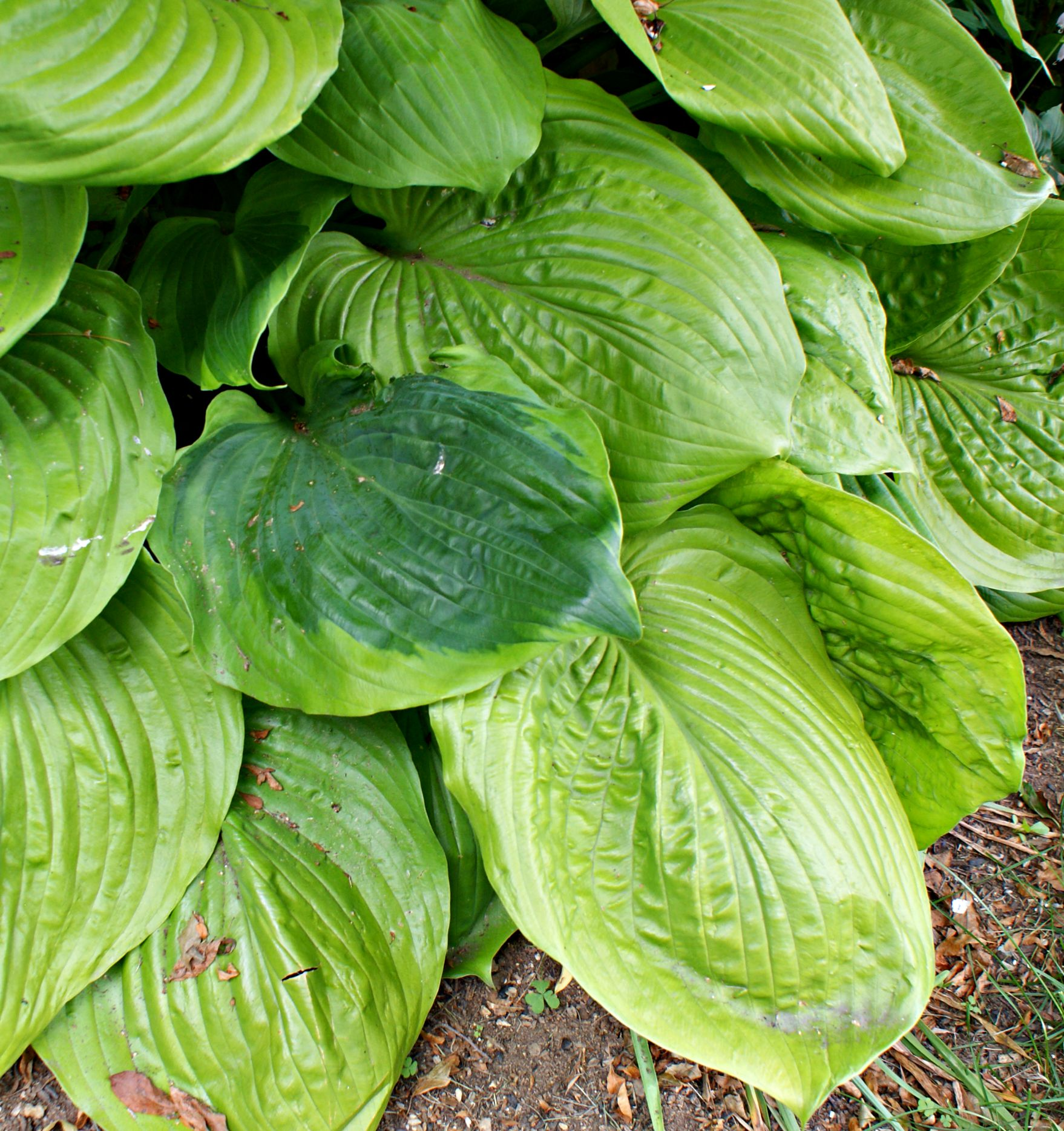 Hosta Sports Hosta Reversions | What Is Wrong With My Hosta?