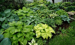 Charmant One Of Our Hosta Gardens