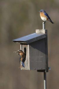 4-22-16-bluebirds-nesting-239
