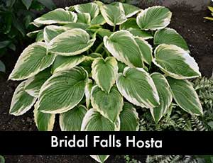 Bridal Falls Hosta - Giant Hosta