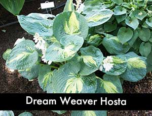 Dream Weaver Hosta - Giant Hosta