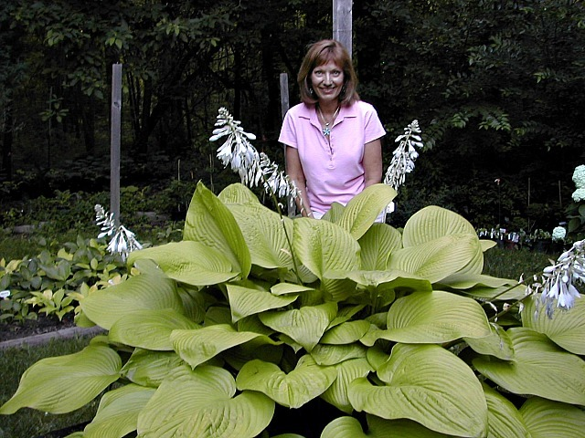 How To Grow Giant Hostas Nh Hostas