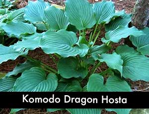 Komodo Dragon Hosta - Giant Hosta