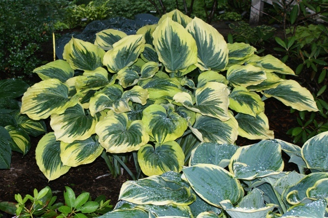 Liberty Hosta, a Giant hosta plant will brighten up any garden.