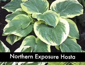 Northern Exposure Hosta - a Giant Hosta