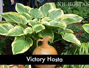 Victory Hosta - Giant Hosta