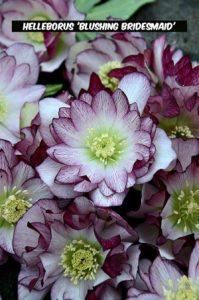 Helleborus 'Blushing Bridesmaid'