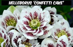 Helleborus 'Confetti Cake'