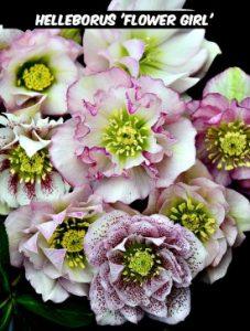 Helleborus 'Flower Girl'