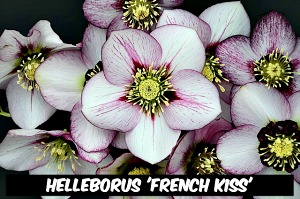 Helleborus 'French Kiss'
