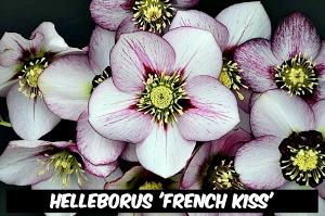 Helleborus 'French Kiss'