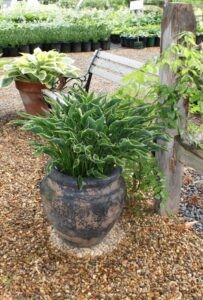 Container Grown Hosta