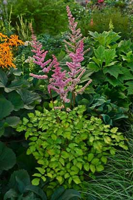 Astilbe 'Amber Moon' - New for 2015
