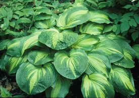 Hollywood Lights Hosta - New Hosta for 2014