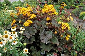Ligularia Britt Marie Crawford - New Companion Plant for 2015