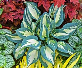 Ivory Queen Hosta - New for 2014