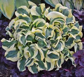 Mini Skirt Hosta - New Hosta for 2014